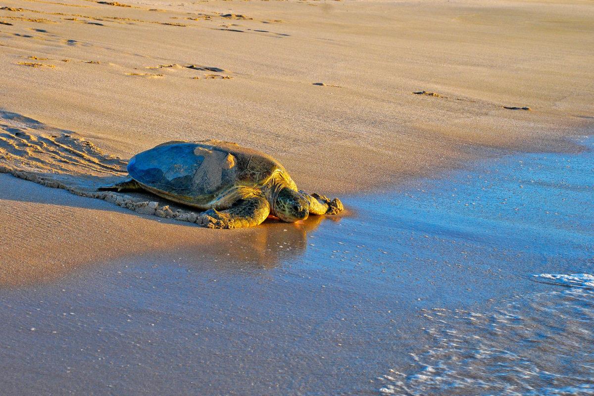 Der Oman spielt beim Schutz der Meeresschildkröten eine besondere Rolle, da die meisten der Meeresschildkröten bevorzugt die Strände des Omans zur Eiablage aufsuchen - © Marcin Szymczak / Shutterstock