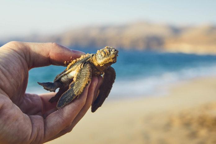Eine neugeborene Schildkröte in Ras Al Jinz, Oman - © Jaromir Chalabala / Shutterstock