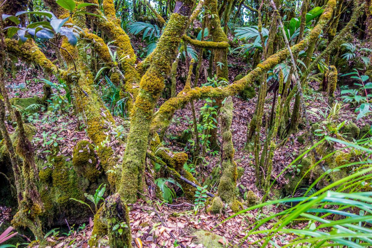 Im dichten Dschungel des Morne Seychellois Nationalparks sind auch nicht einheimische Pflanzen zu finden, Seychellen - © KarlosXII / Shutterstock